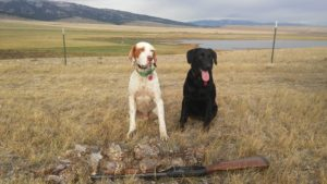 One of 15 limits (8 birds) of Hungarian partridge in Montana in 2016: English setter Bo and Labrador Belle, with Snowy Mountains behind on right and Little Belts on left